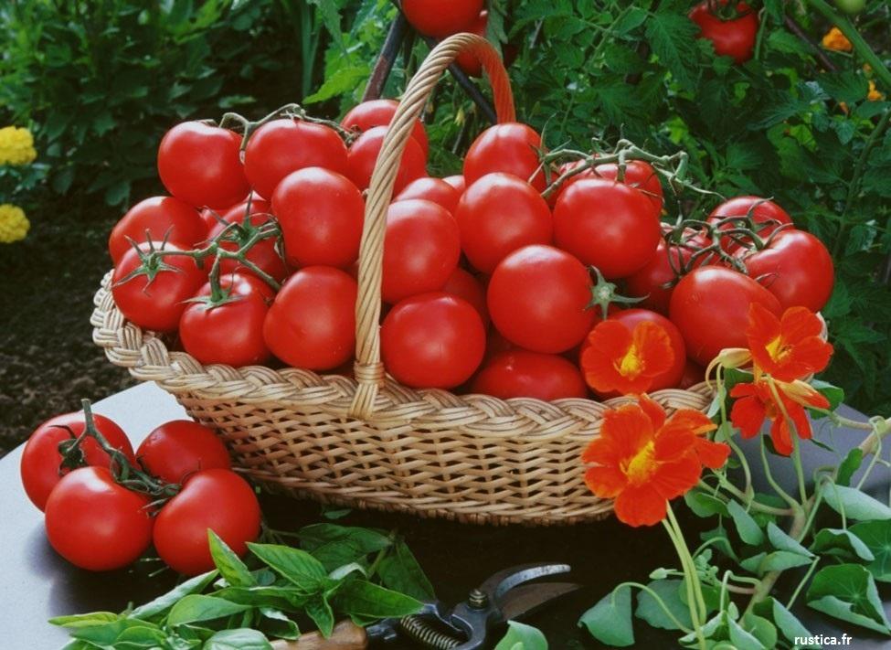 La tomate est le fruit préférée des français . C'est la star de vos tables d'été.